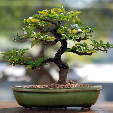 Bonsai klein